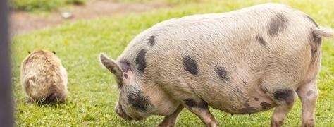 Flag Animal Farm (3)